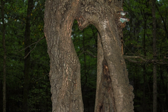 one tree - two trunks