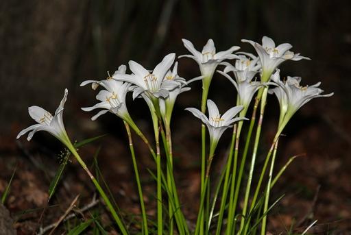 rain lily