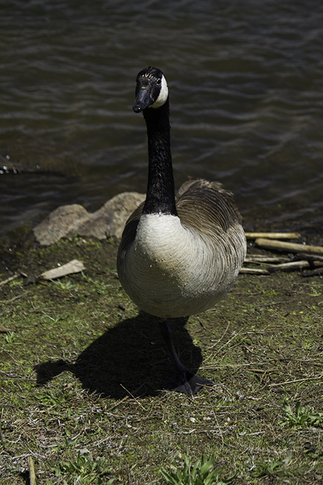 a goose leaning at the lake