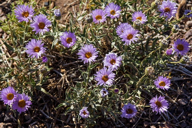purple Mojave Aster in Death Valley