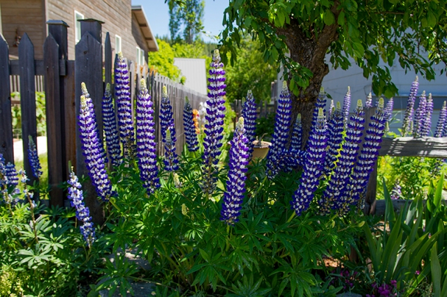 Lupine in Roslyn