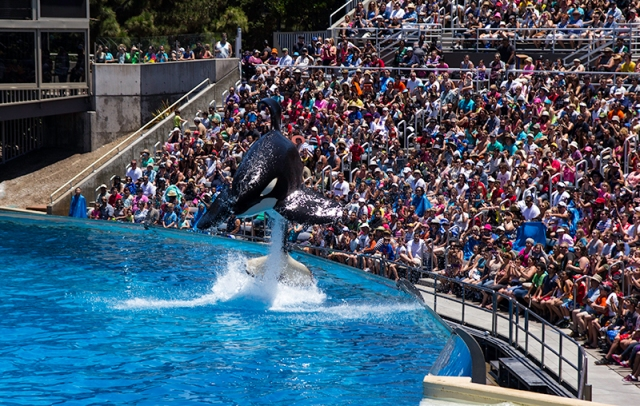 a jumping Orca