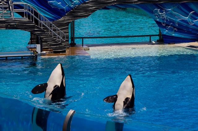 waving Orcas