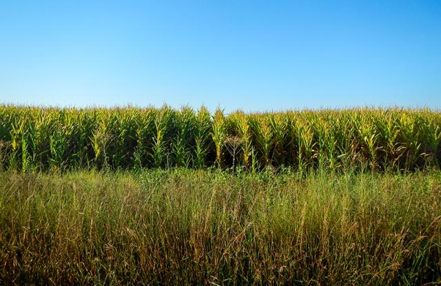 cornfield near Stockton