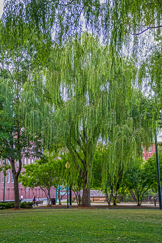 willow tree in Lowell, MA