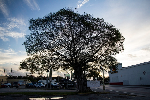 a tree in Miami