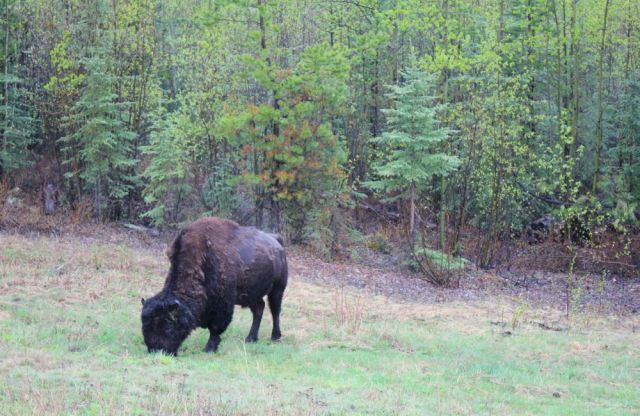 American bison in Stikine region