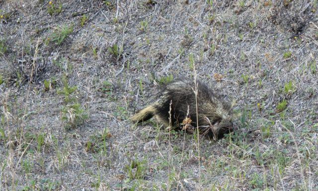 porcupine near Marsh Lake, YT