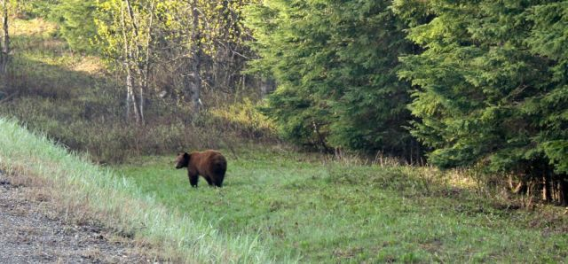 Our first brown bear near Cottonwood, BC!