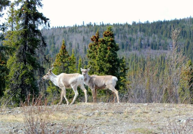 caribou south of Dease Lake, BC