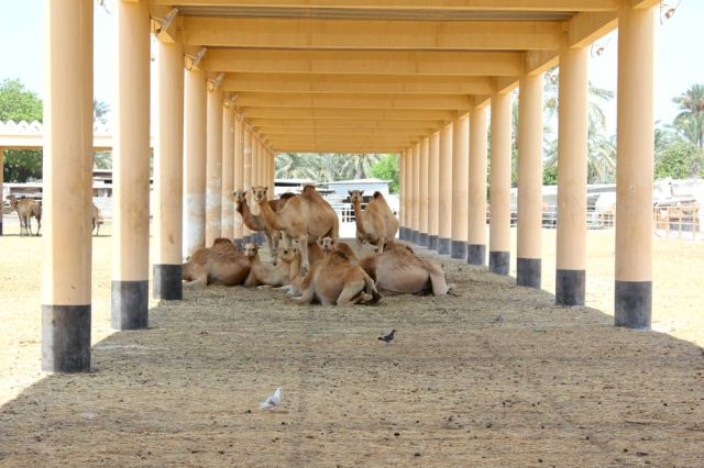 and the cool camels to our right