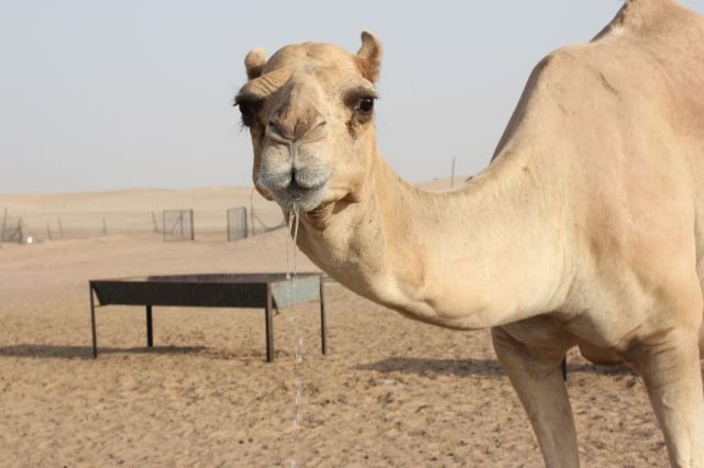 a camel drinking in the desert