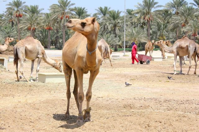 a modelling camel