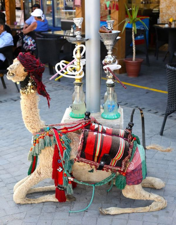 this camel smoked too much sheesha