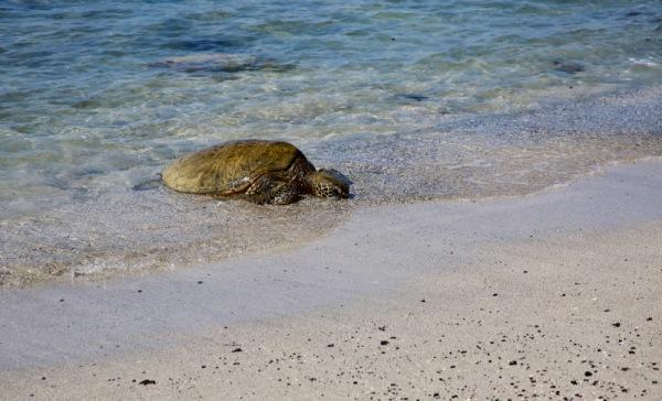 Green sea turtle near Ai'ōpio Fishtrap